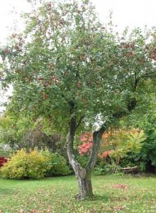 100 år gammelt Låsbyæbletræ.